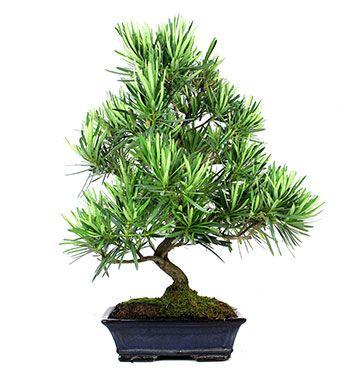 Podocarpus sp.