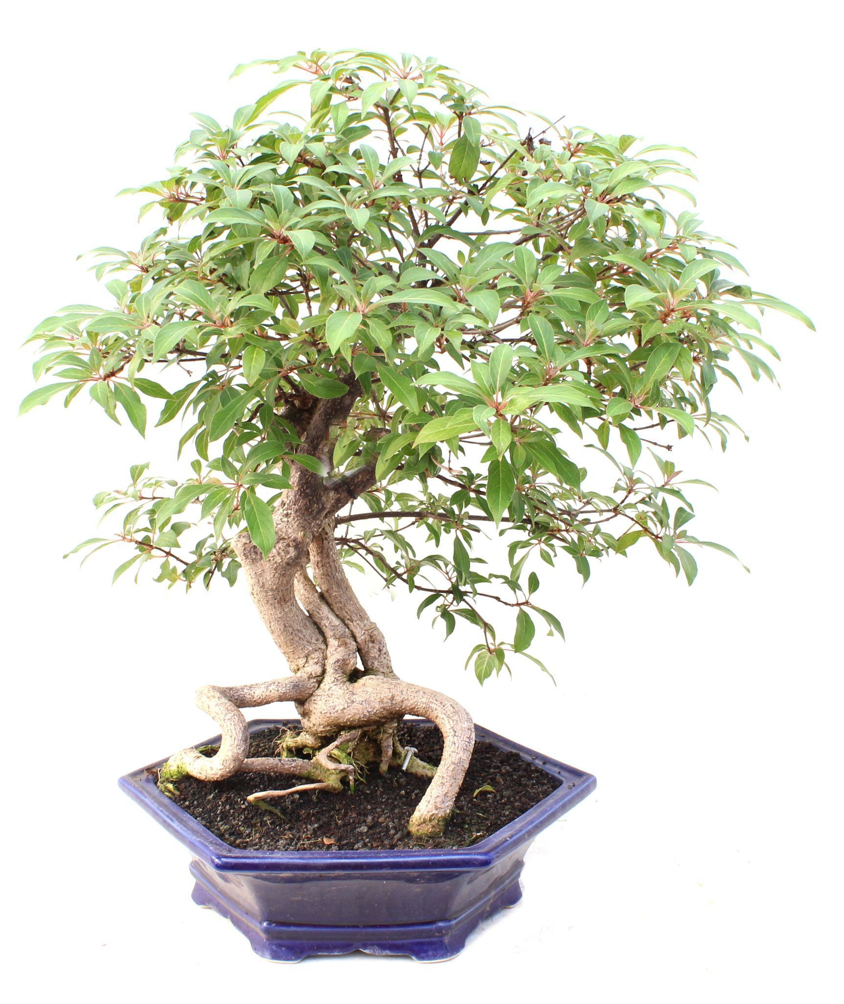 Hamelia patens mistral bonsai for Bonsais de interior