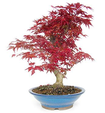 Acer Palmatum Outdoor Bonsai Data Sheet Mistral Bonsai