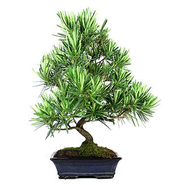 Podocarpus sp