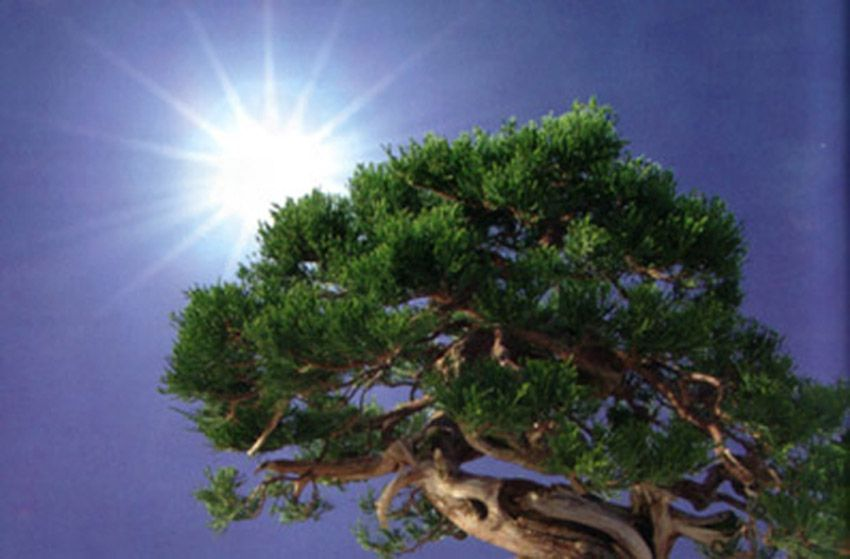 Trabajos de verano en nuestro bonsái
