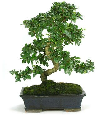 Carmona Sp Indoor Bonsai Data Sheet Mistral Bonsai