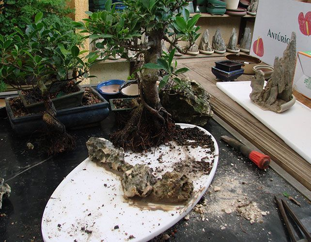 When And How Do We Have To Repot A Bonsai Mistral Bonsai