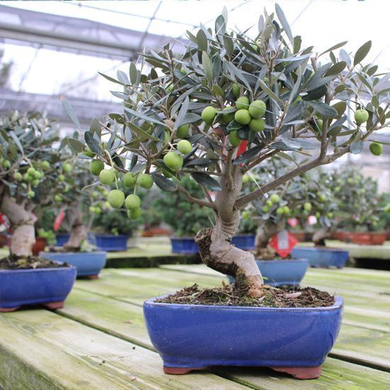 What kind of trees can be worked as bonsai, and how?