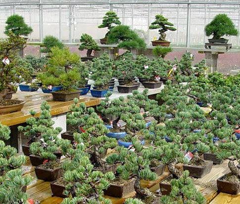 El paraíso del bonsái en el delta del Ebro