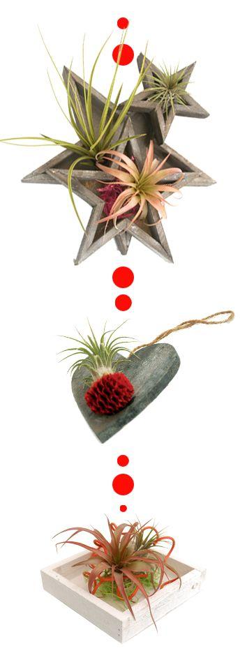 Tillandsias estrellas corazon