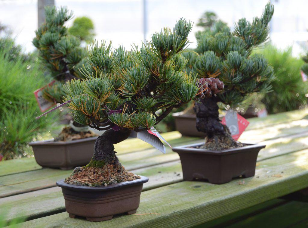 lecciones básicas de bonsái