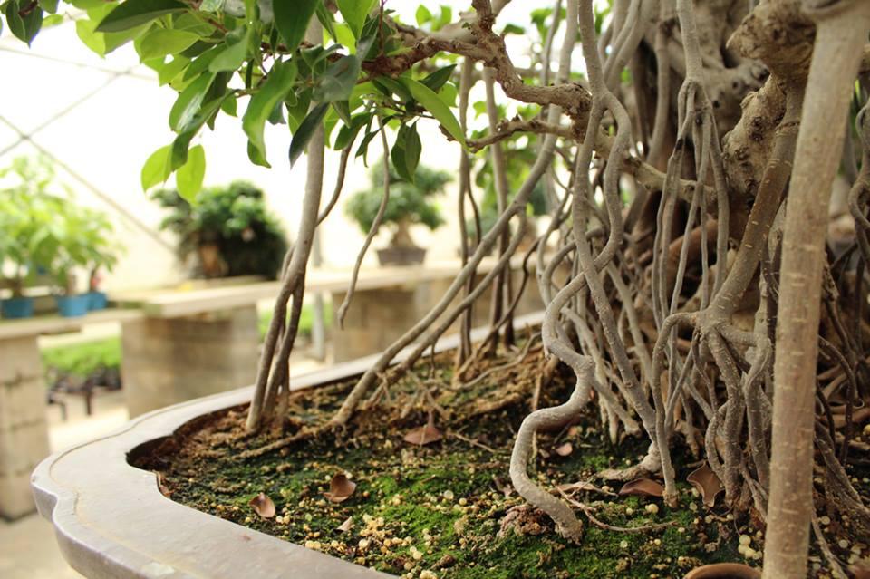 Bonsái de interior por excelencia: el Ficus Retusa