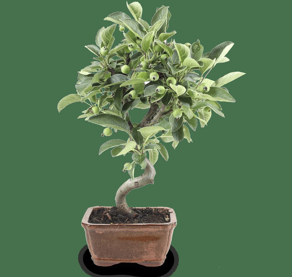 pack mistral bonsai