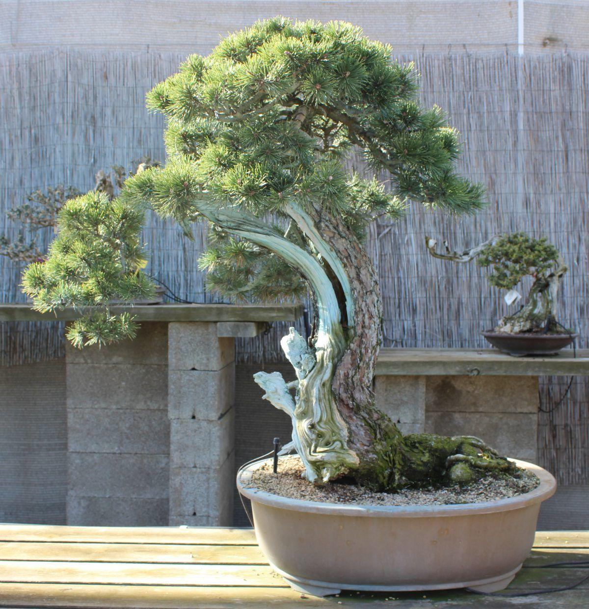 Limpieza de la madera en el bonsái Pinus