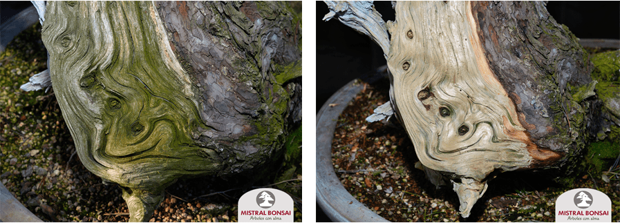 antes y después limpieza pinus
