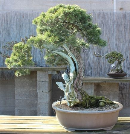 Nettoyage du bois d' un bonsaï Pinus