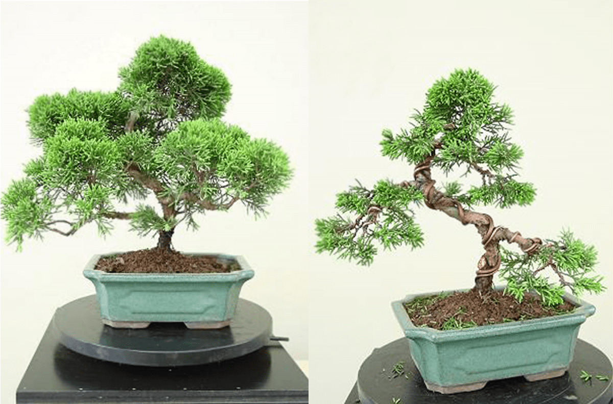 Comment remodeler un Juniperus commercial?