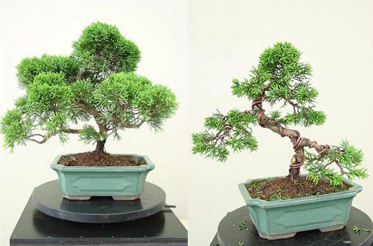 ¿Cómo remodelar un Juniperus Comercial?