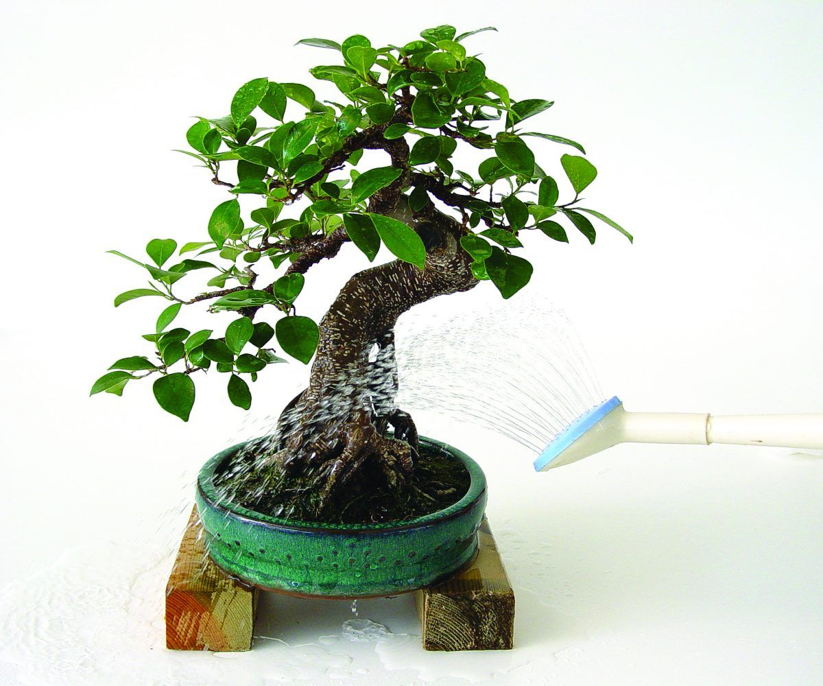 Cultivo producci n y venta de bons is mistral bonsai for Tierra para bonsais