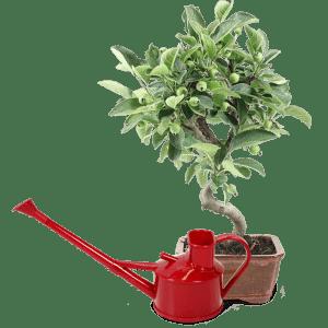 bonsai+regadera