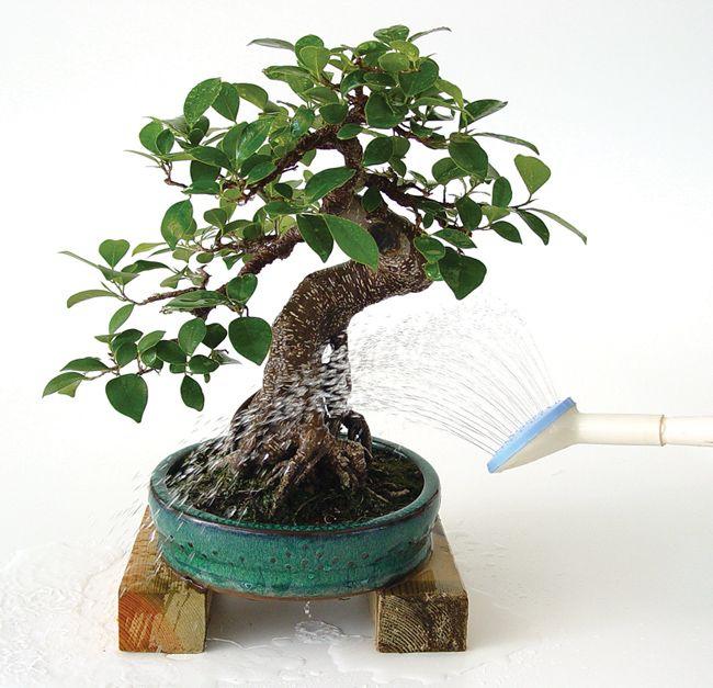 Regar bien un bonsái es la clave