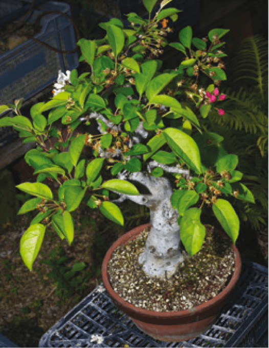 trasplantar bonsai malus