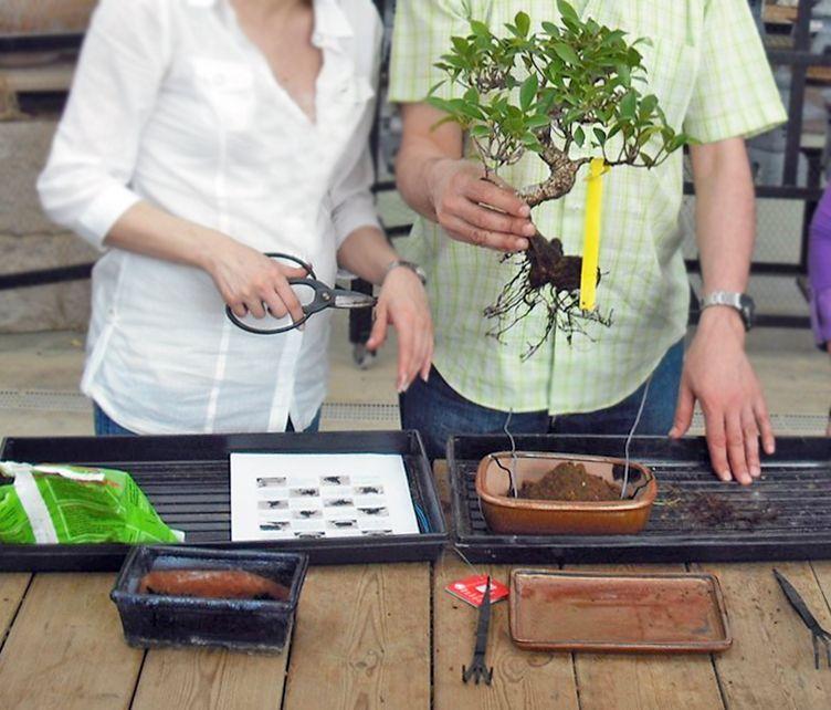 rempotage bonsaï