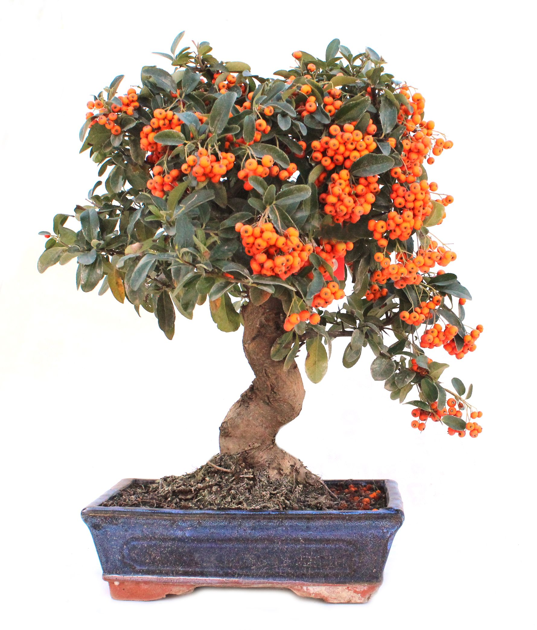 Pyracantha sp.