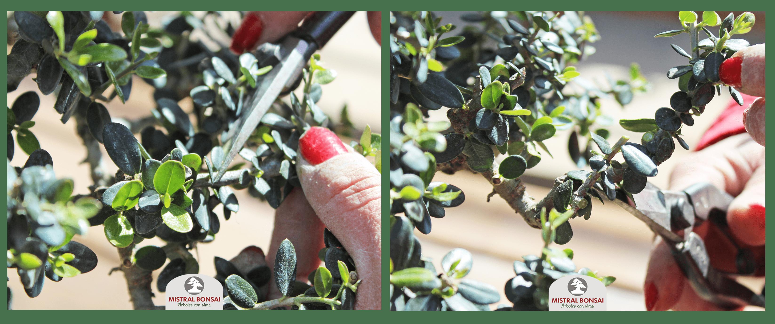 Poda de aclarado bonsái 1