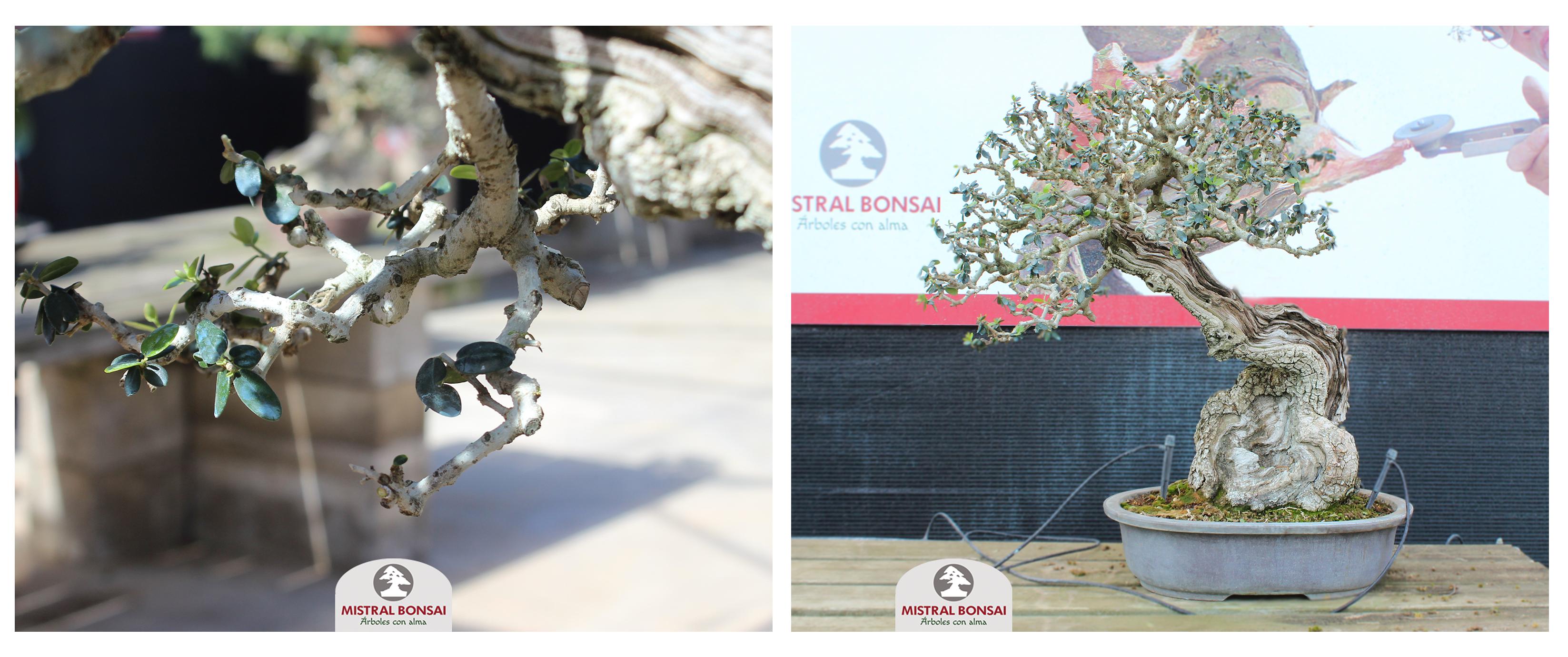Poda de aclarado bonsái 4