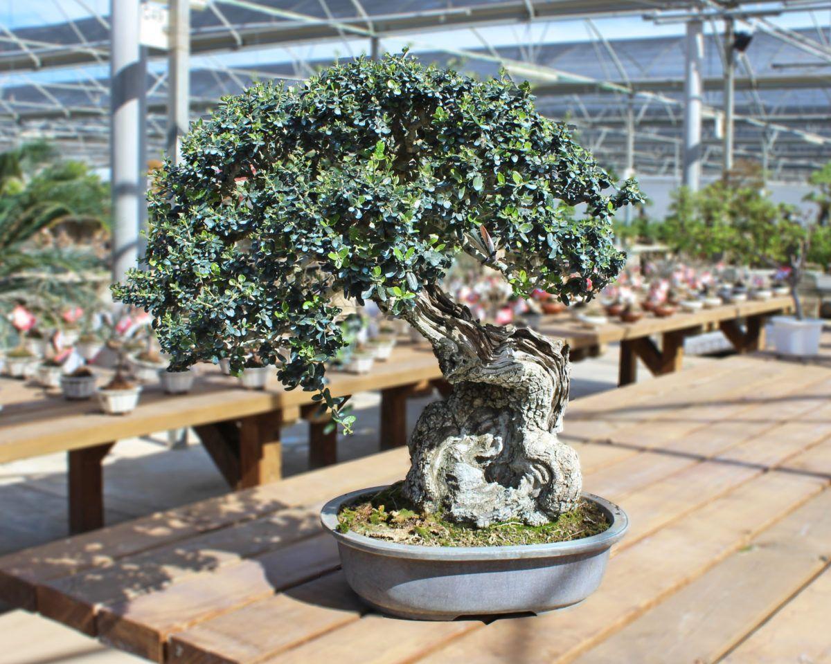 Poda de aclarado en el bonsái acebuche