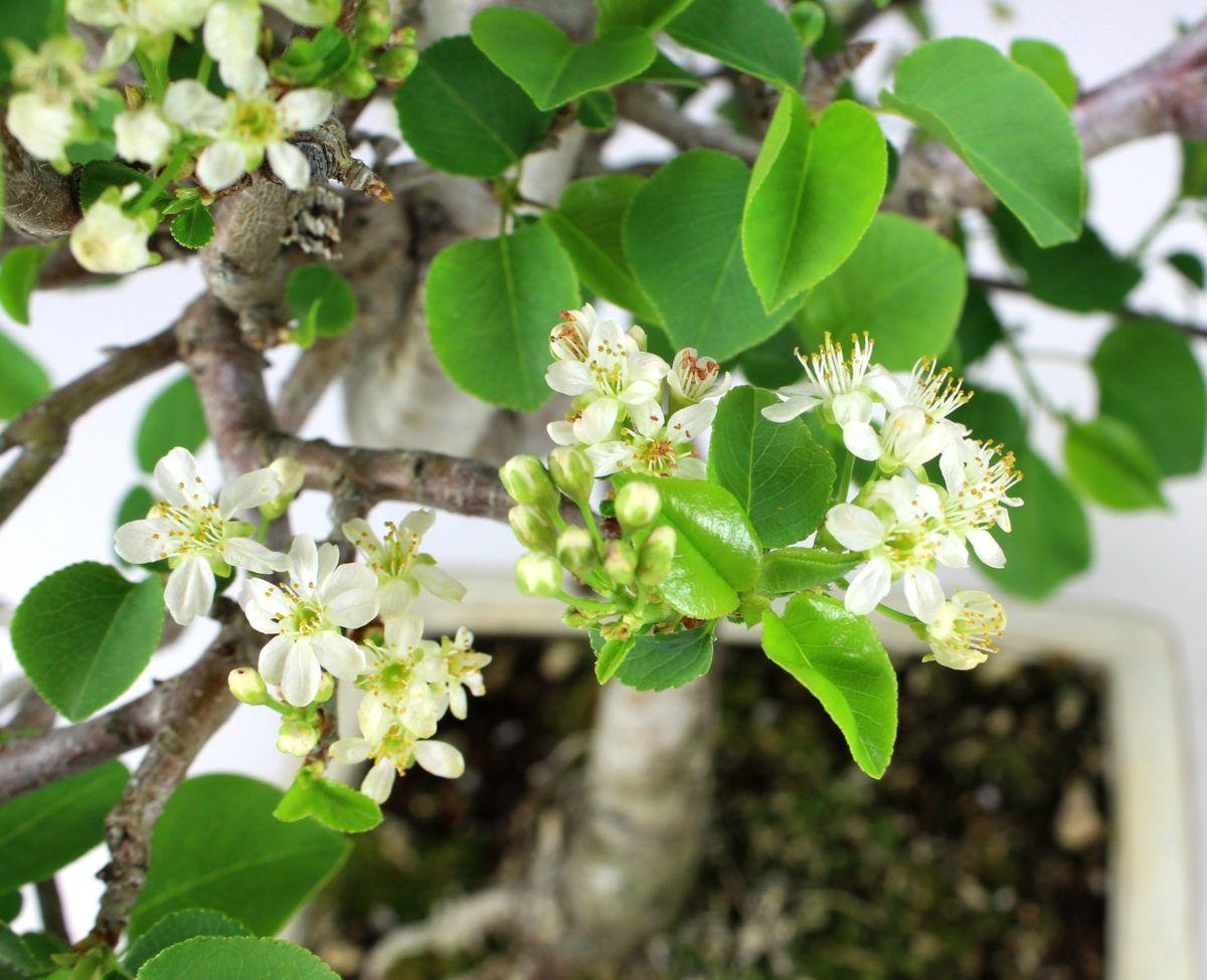 Comment est le Cerisier de Sainte Lucie?