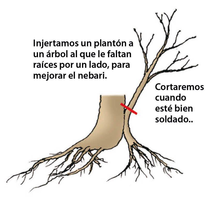 tipo de injerto bonsái 4