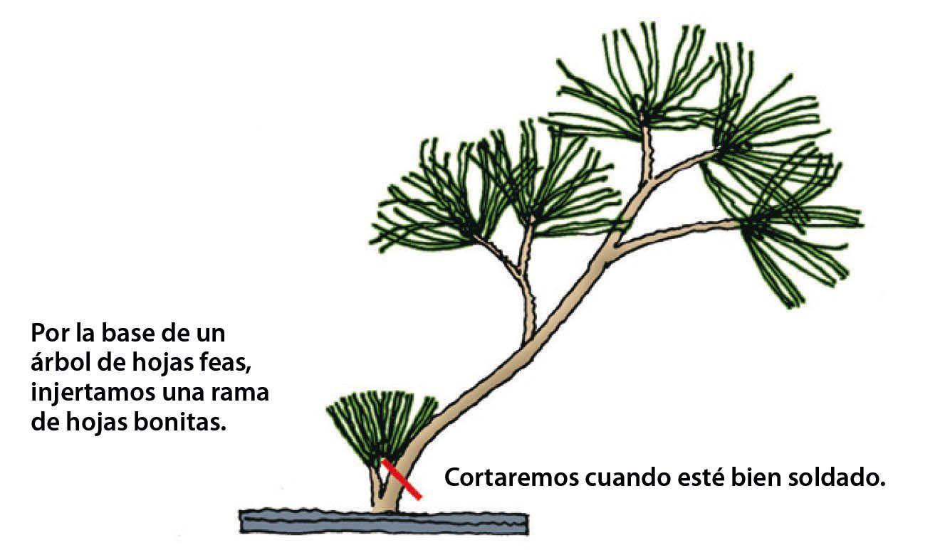 tipo de injerto bonsái 6