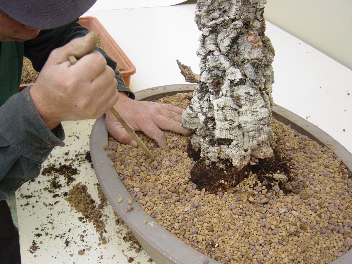 La tierra en el cultivo del bonsái por Kawabe Takeo