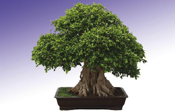bonsái ficus retusa