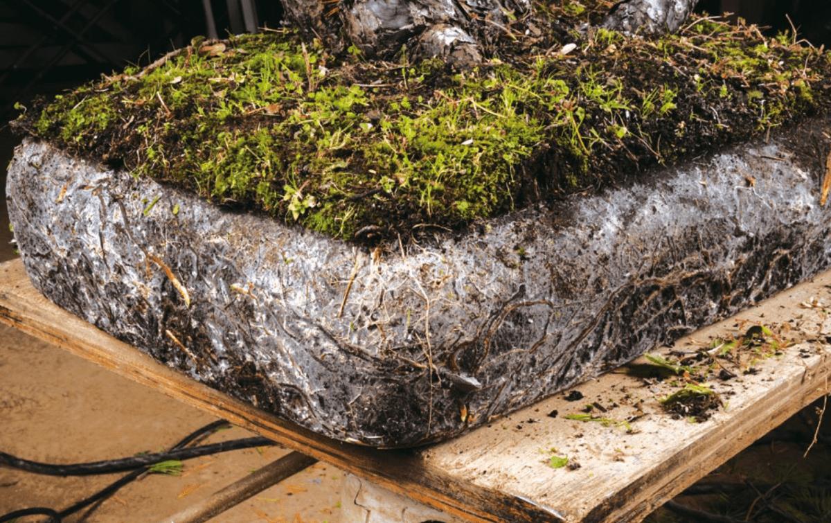 Aplicación de micorrizas en el cuidado de los bonsáis