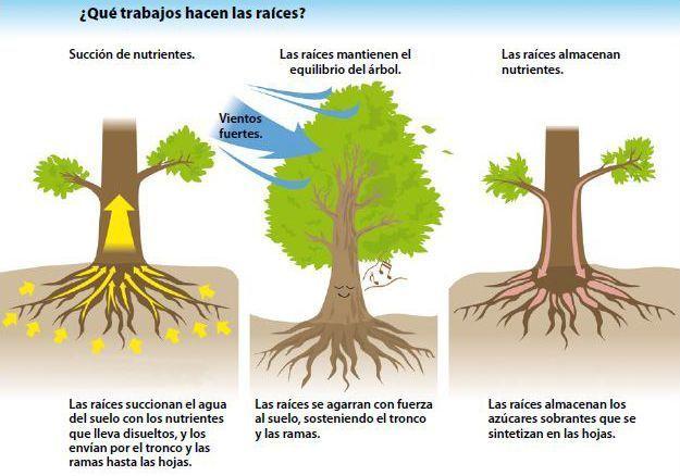 raíces bonsái