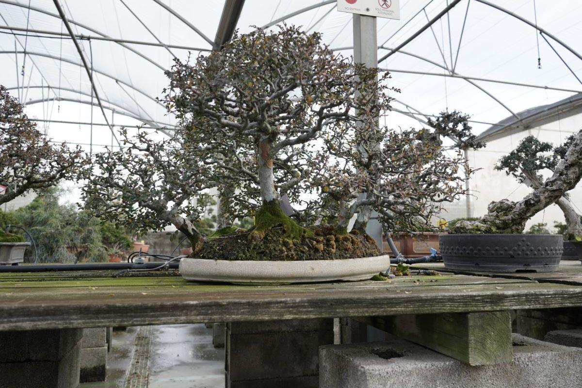 Tareas del mes de febrero para cuidar a nuestro bonsái