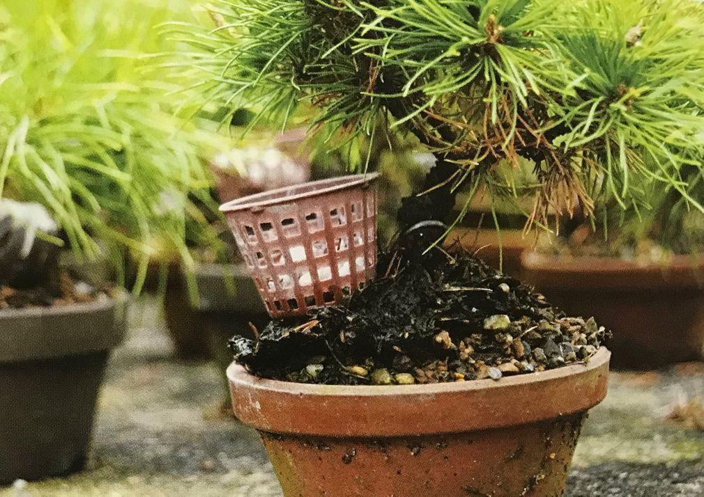Les bases pour l'usage de l'engrais dans des bonsaïs