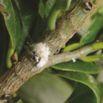 Most common pests of Ficus retusa