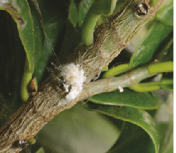 ravageurs en bonsaï