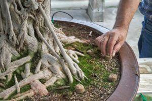 Abonar un bonsái Ficus retusa _ Mistral Bonsai