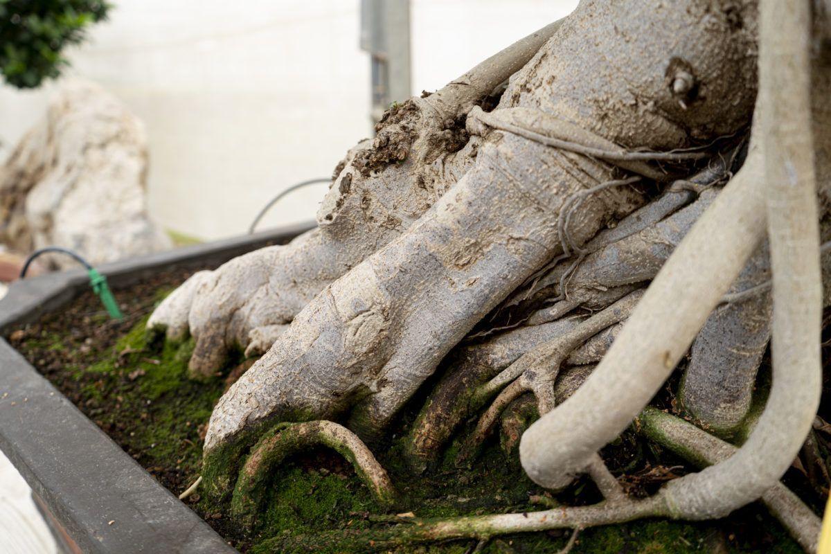 ¡No riegues sobre mojado! Descubre los secretos del riego y abonado del bonsái Ficus retusa