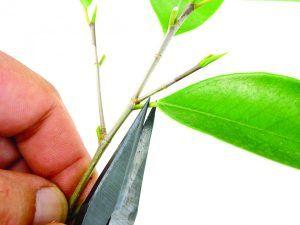 Defoliación bonsái Ficus