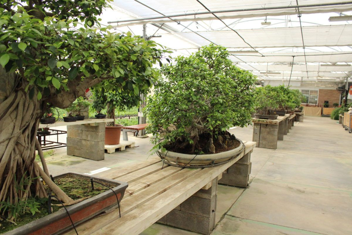 The 7 things you should know to take care of a Bonsai Ficus retusa