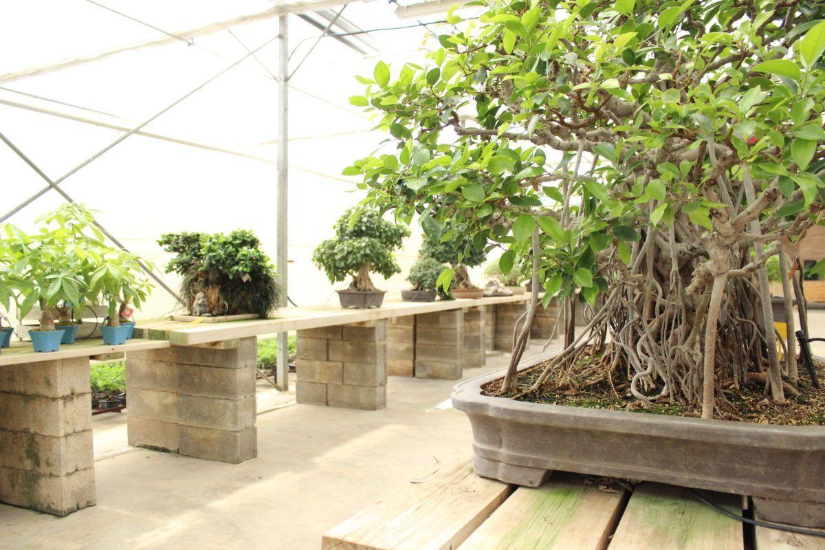 Où vivent au mieux les Ficus retusa?