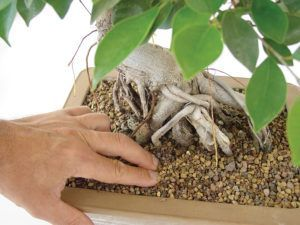 Nous vérifierons en touchant la couche superficielle du substrat de notre bonsaï Ficus _ Mistral Bonsai