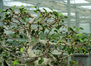 Defoliate a ficus bonsai
