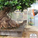 Irrigation of Ficus retusa