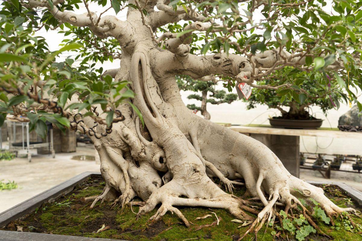 Descubriendo el alma de un bonsái Ficus de 80 años
