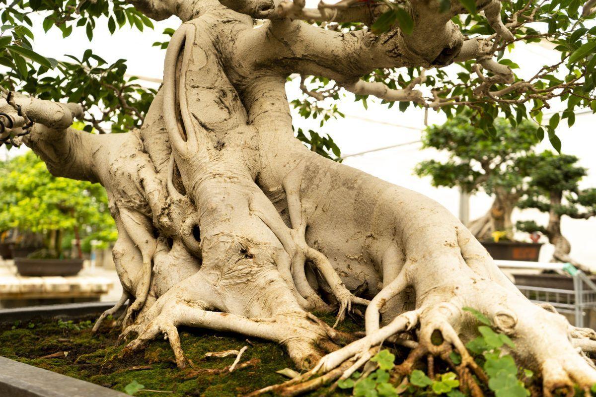 À la découverte de l'âme d'un bonsaï Ficus de 80 ans