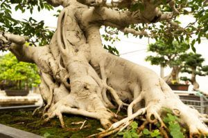 Détail tronc bonsaï Ficus retusa _ Mistral Bonsai