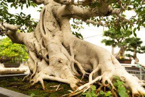 tronco Ficus